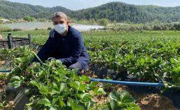 Başkan Yeşildal çilek hasadı yaptı