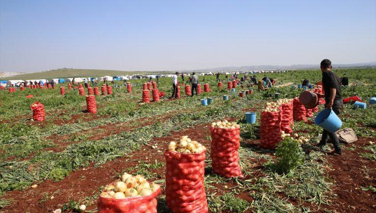 Turfanda soğan hasadına başlandı