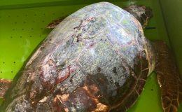 Yaralı bulunan deniz kaplumbağası tedaviye alındı