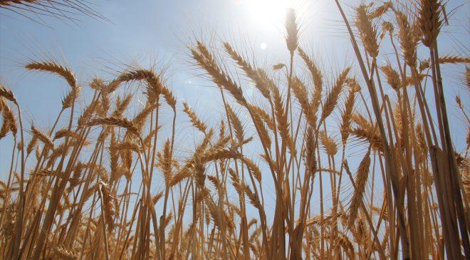 Amik Ovası'nda 220 bin ton buğday rekoltesi bekleniyor