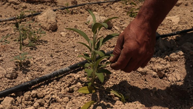 Çiftçiler, hibe desteği ile tıbbi ve aromatik bitkiler yetiştiriyor